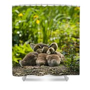 Huddled Goslings Baby Geese Along River's Edge Shower Curtain