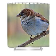 Humble Housesparrow Shower Curtain