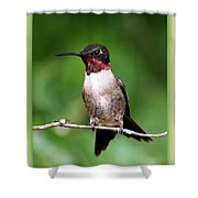 Hummingbird - Male - Will Soon Be Grown Shower Curtain