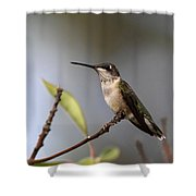 Hummingbird - Ruby-throated Hummingbird - Near The End Shower Curtain