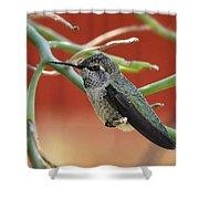 Hummingbird Nap Time  Shower Curtain