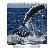 Humpback Whale Flipper Slap Hawaii Shower Curtain