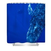 Humpback Whale Singer And Joiner Maui Shower Curtain