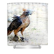 Hungry Red Teiled Hawk Shower Curtain