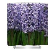 Hyacinth Hyacinthus Sp Skyline Variety Shower Curtain