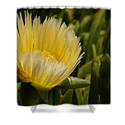 Ice Plant Bloom Shower Curtain