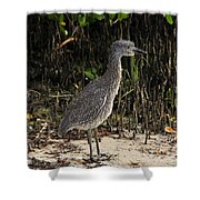 Immature Blacked Crowned Night Heron Shower Curtain