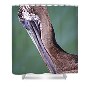 Immature Brown Pelican Shower Curtain