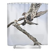 Immature Eagle At Play Shower Curtain