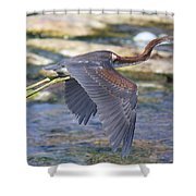 Immature Tricolored Heron Flying Shower Curtain
