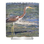 Immature Tricolored Heron Standing At High Tide Shower Curtain