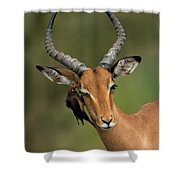 Impala Aepyceros Melampus Buck Africa Shower Curtain