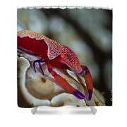 Imperator Commensal Shrimp On Eyed Sea Shower Curtain