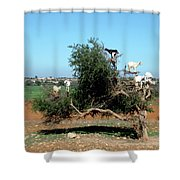 In Morocco Goats Grow On Trees Shower Curtain