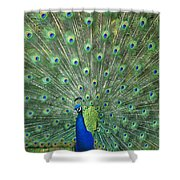 Indian Peafowl Pavo Cristatus Male Shower Curtain