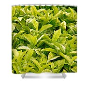 Indian Variety Of Tea Shower Curtain