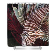 Indonesian Lionfish On A Wreck Site Shower Curtain