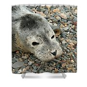 Injured Harbor Seal Shower Curtain by Ted Kinsman