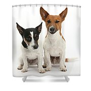 Jack Russell Terrier Dog, Rockie Shower Curtain