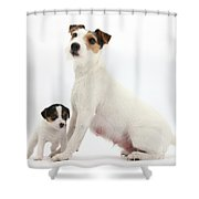 Jack Russell Terrier Mother And Puppy Shower Curtain