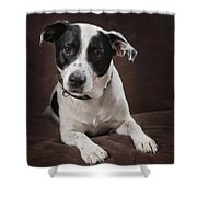 Jack Russell Terrier On A Brown Studio Shower Curtain