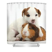 Jack Russell Terrier Puppy And Guinea Shower Curtain