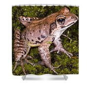 Japanese Ranid Frog Shower Curtain