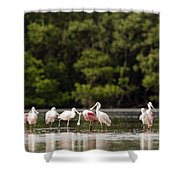 Juvenile And Adult Roseate Spoonbills Shower Curtain
