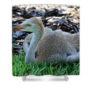 Juvenile Sandhill Crane At Rest Shower Curtain