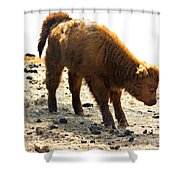 Juvenile Scottish Highlander Cattle Shower Curtain