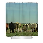 Kansas Cow's With There Backside's To You With Blue Sky And Grass Shower Curtain