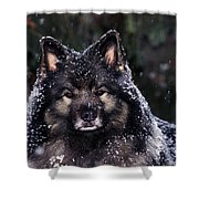 Keeshond Dog, Winnipeg, Manitoba Shower Curtain