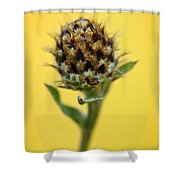 Knapweed Plant Shower Curtain