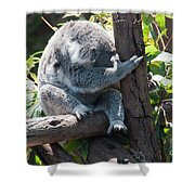 Koala Shower Curtain by Carol Ailles