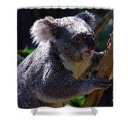 Koala In A Gum Tree Shower Curtain