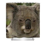 Koala Phascolarctos Cinereus Portrait Shower Curtain by Pete Oxford