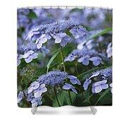 Lace Cap Hydrangeas In Bloom Shower Curtain