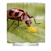 Lady Beetle Eats Potato Beetle Eggs Shower Curtain