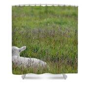 Lamb In Pasture, Alberta, Canada Shower Curtain