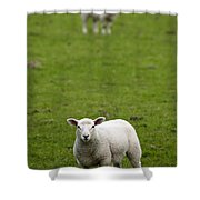 Lambs In A Field Shower Curtain