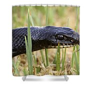 Large Whipsnake Coluber Jugularis Shower Curtain