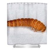 Larva Of Black Carpet Beetle Shower Curtain