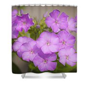 Lavender Phlox Shower Curtain