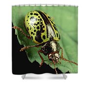 Leaf Beetle Calligrapha Sp Portrait Shower Curtain