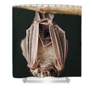 Leaf-nosed Bat Phyllostomidae, Amazon Shower Curtain