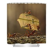 Leafcutter Ant Atta Sp Group Carrying Shower Curtain