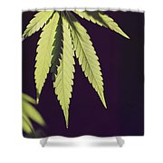 Leaves Of A Marijuana Plant Cannabis Shower Curtain
