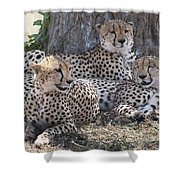Leopards, Kenya, Africa Shower Curtain