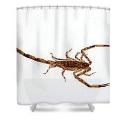 Lesser Brown Scorpion Shower Curtain