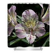 Lily - Liliaceae Shower Curtain